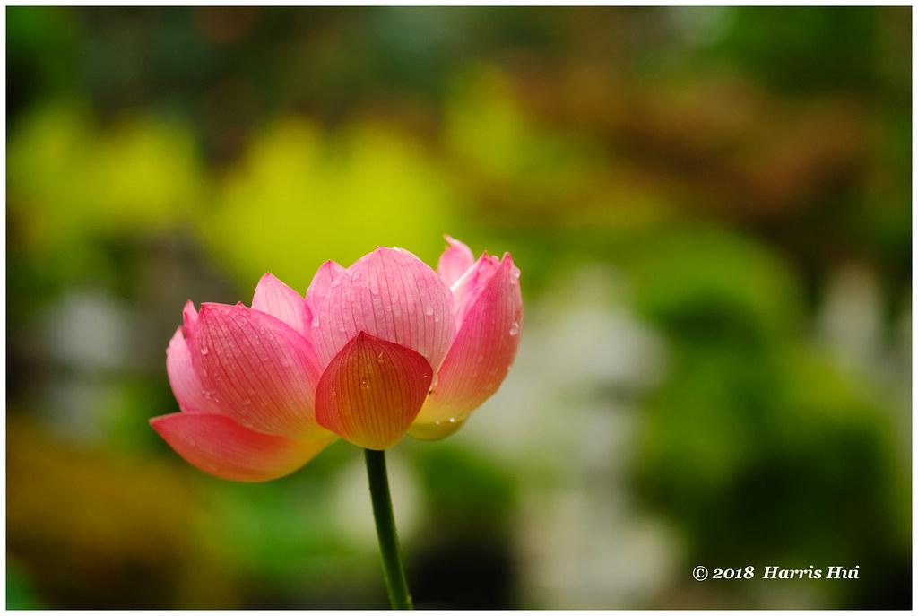 Lotus As Symbol Of Buddha Nature Buddhist Temple X