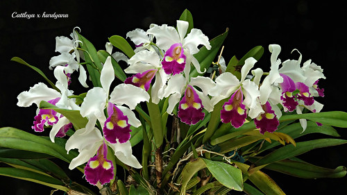 Cattleya x hardyana semi alba 'Emmily' | by emmily1955