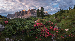 Rhododendron flowers above the Val Gardena mountain pass | by Dreamy Pixel