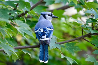 Blue Jay | by Linda Ramsey