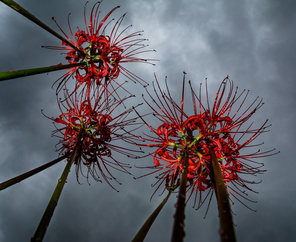 258 red spider lilies tokyobogue flickr red spider lilies by tokyobogue izmirmasajfo