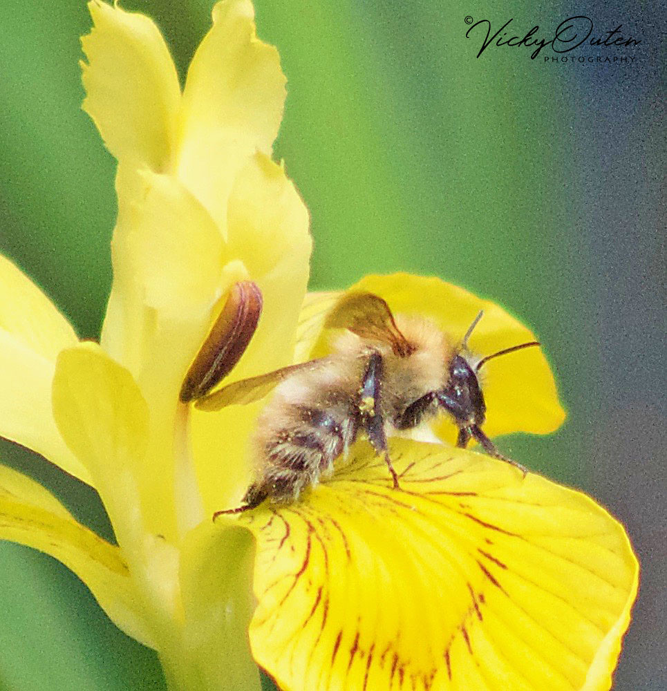 Insect On An Iris Flower Vicky Outen Flickr