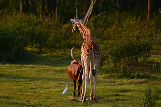 Love between Ankole cattle and giraffe :-) | by supersky77
