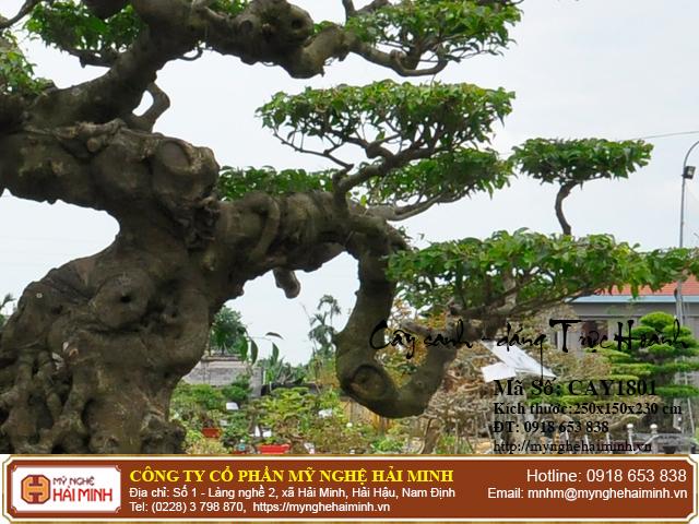 Cay Sanh Dang Truc Hoanh mynghehaiminh CAY1801d