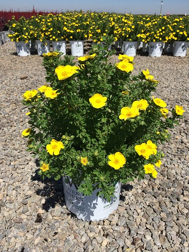 2T Potentilla Happy Face Yellow (PW) | by Matsuda's