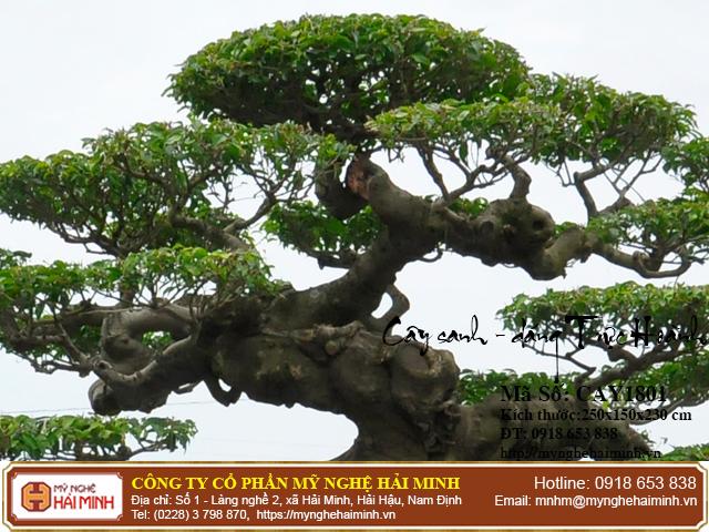 Cay Sanh Dang Truc Hoanh mynghehaiminh CAY1801c