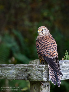 Kestral (Female) | by srhphoto