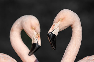Flamingo | by liamtatts84