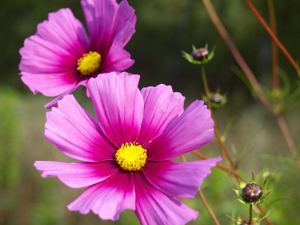 Herbstblumen A078104 Hlh 1960 Flickr