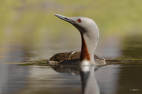 Red-throated Loon / Plongeon catmarin | by shimmer5641