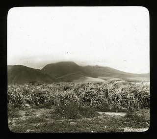 Sugar Cane Field, St Kitts, ca 1890 | by The Caribbean Photo Archive