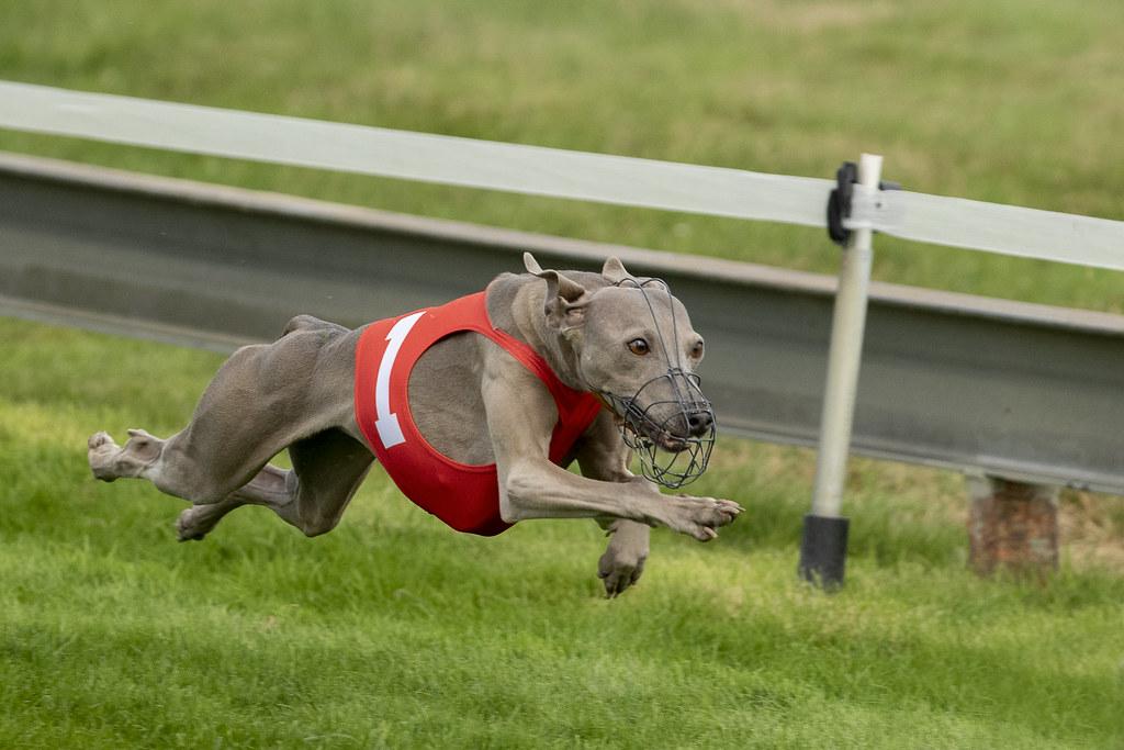 Chien Volant chien volant | pogona | flickr