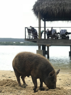 Pig on the beach | by edrabbit
