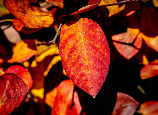 Red leaf in the autumn | by Thor Thorsson 1