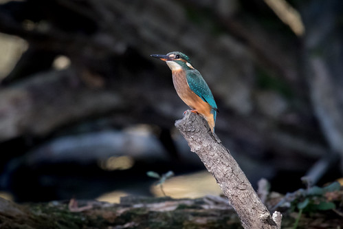 Kingfisher Kemsing | by Jeremy Jeffery