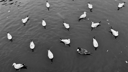 Surrounded by gulls | by nikkorglass