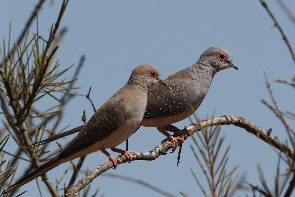 Diamond Doves At Rocky Pool Geopelia Cuneata 19 24 Cm Flickr