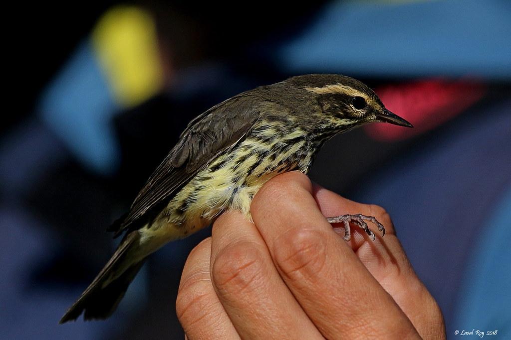 un oiseau -ajonc- 19 février bravo Martine  30927594017_b0f020eb42_b