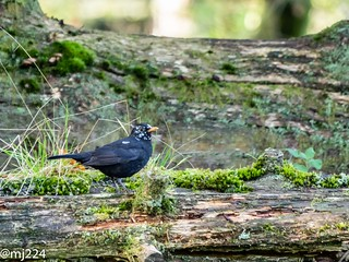 Speckled Blackbird | by dudutrois