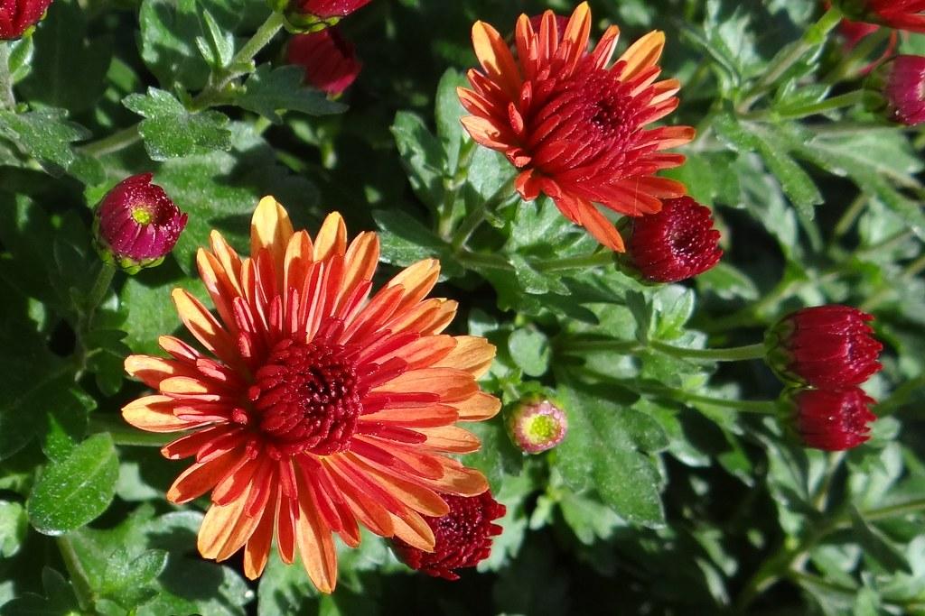 Herbstaster Gartenzauber Rosemarie Flickr
