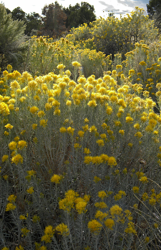 The yellow flowers of rabbit bush at mesa verde in colorad flickr the yellow flowers of rabbit bush at mesa verde in colorado usa by albatz mightylinksfo