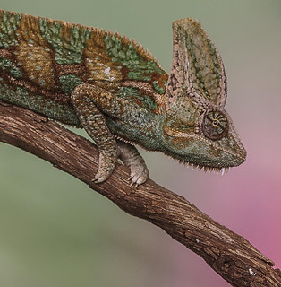 Veiled Chameleon | by smfmi
