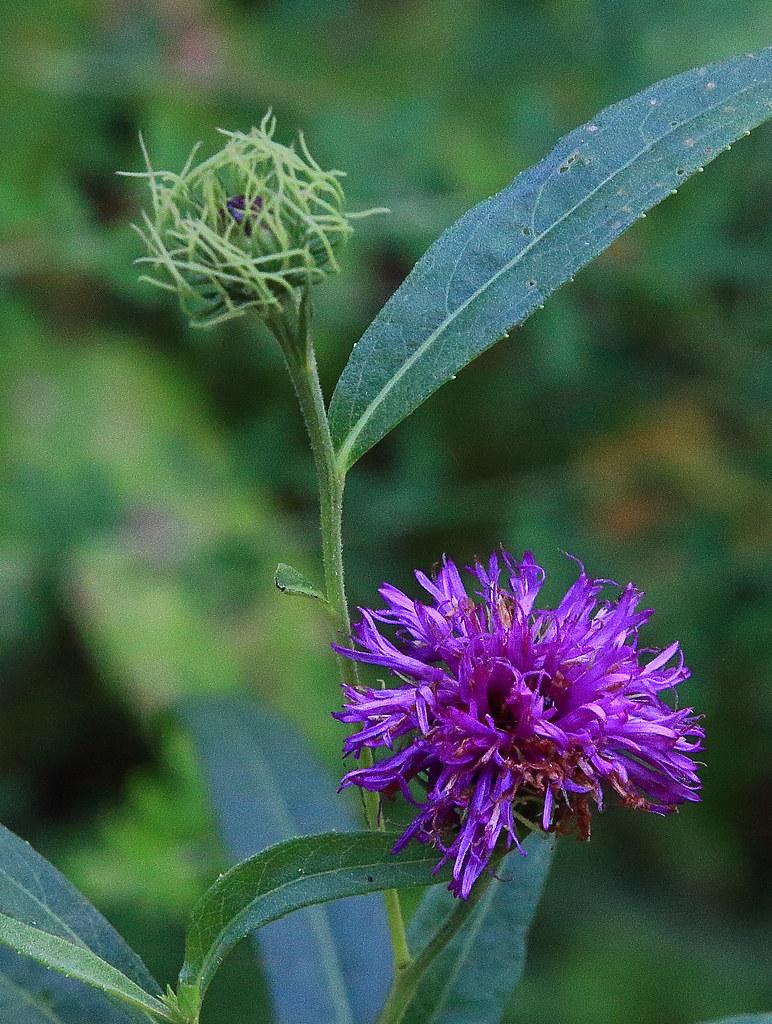 ... Ironweed (wildflower) - Boxley Valley, Northwest Arkansas   by danjdavis