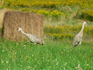 Sandhill Cranes, Lawrence Co., PA 9/16/2018 | by Marg Higbee