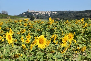 Sunflowers and village-perche, Drome Provencal, France | by BuzzTrips