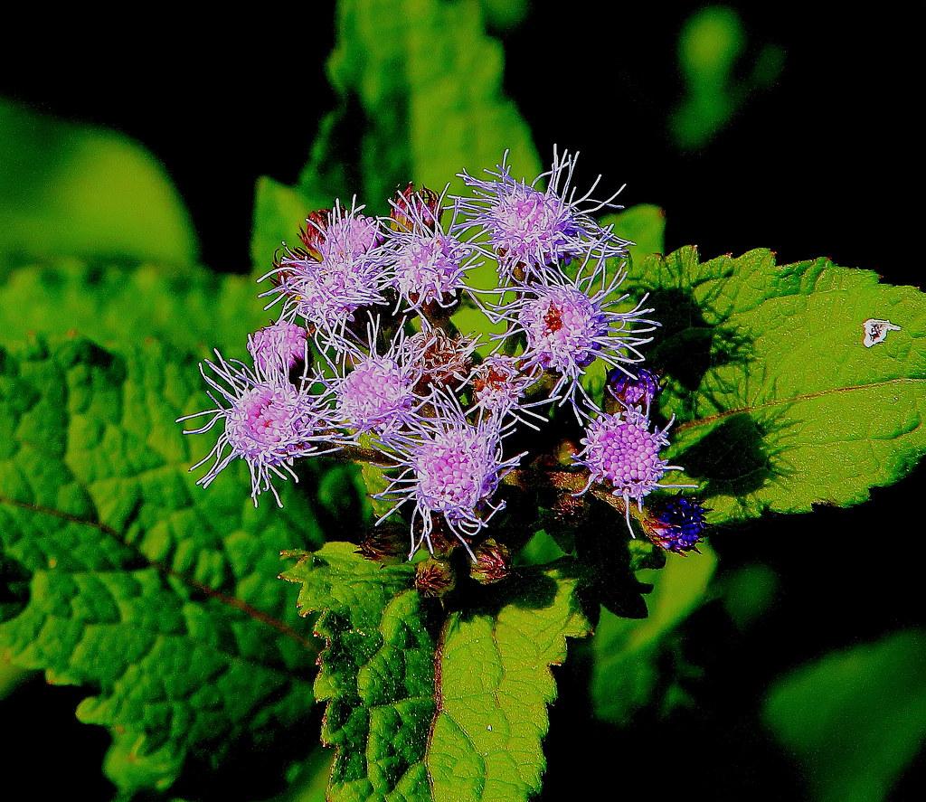 ... Mist Flower (wildflower) - Boxley Valley, Northwest Arkansas   by  danjdavis