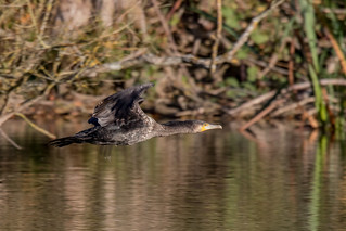 Cormorant | by Jeremy Jeffery