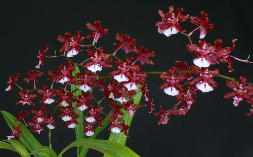 Oncidium Sharry Baby `Sweet Fragrance ` | by W. Pfennig