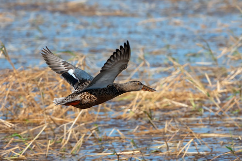Shoveler Hen in Flight | by lennycarl08