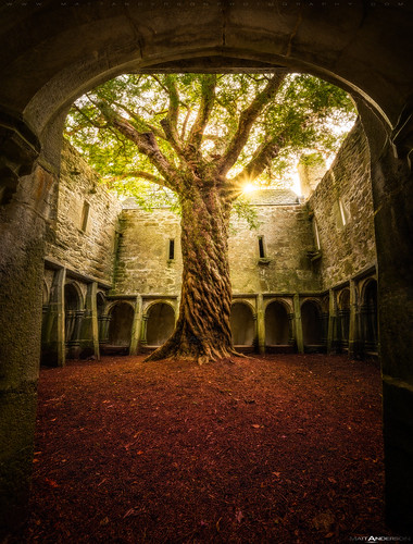 Muckross Abbey Tree of Life | by Matt Anderson Photography