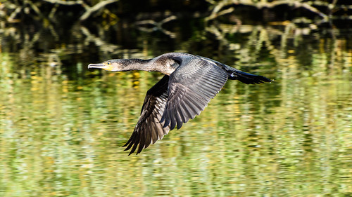 Cormorant-4340 | by Mooshie1956