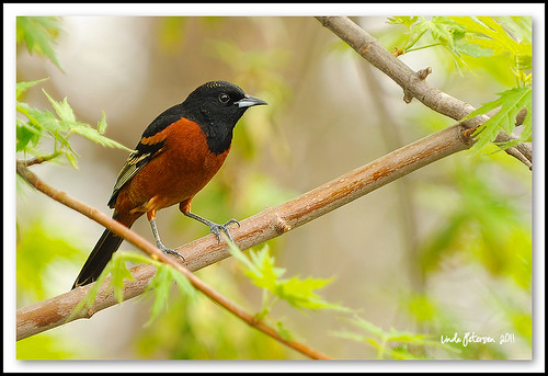 Orchard Oriole | by lindapp57