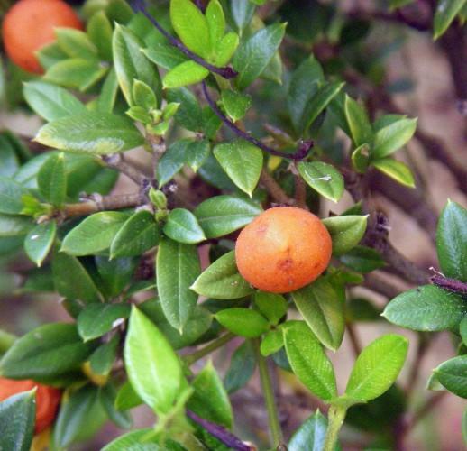 Alyxia ruscifolia 5764044362_857e8a1efc_o