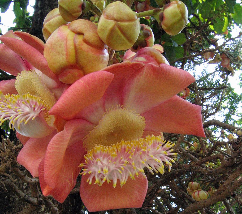 jack fruit flower aka couroupita guianensis david