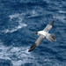 Light-mantled albatross,  Crozet Island, Indian Ocean