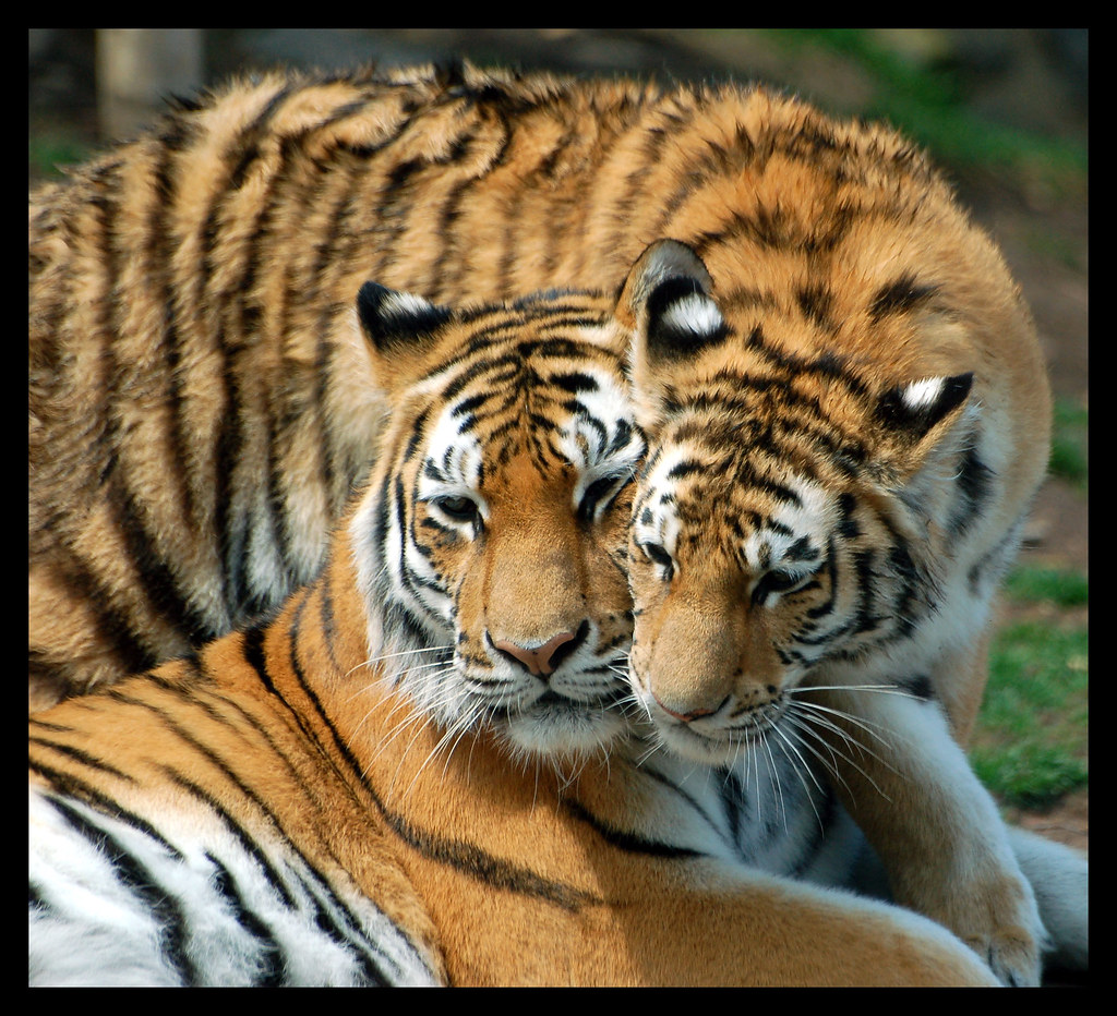 love you mom one of three female tiger cubs with mom at