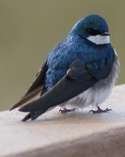 Bbw swallow