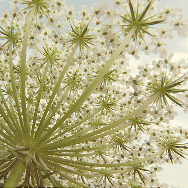 Queen Anne's Lace, 2011