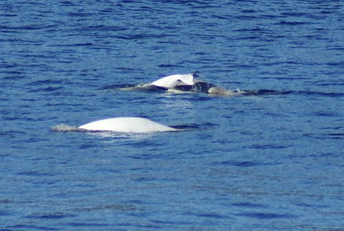 DSC02576 Beluga with calf | by Jenny & Jan