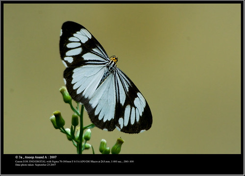 Marbled White Moth | by Anoop Anand A