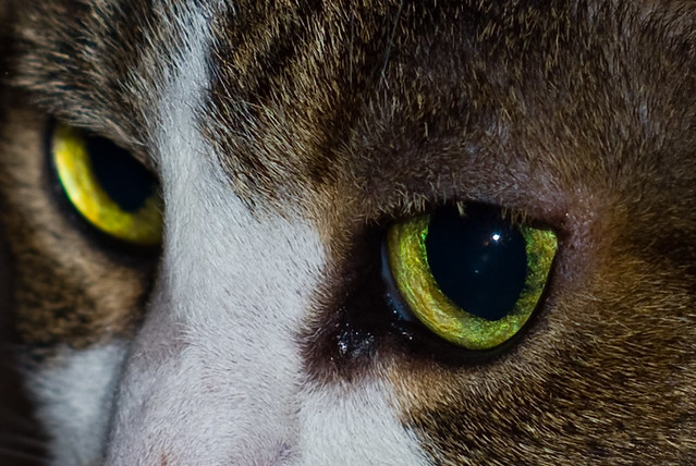 Can Cat Lens Luxation Be Surgically Repaired