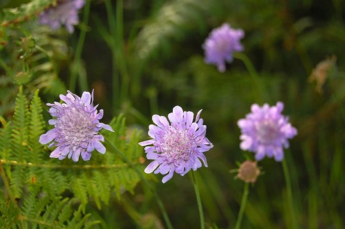 Field scabious | by Chris the lonetraveller