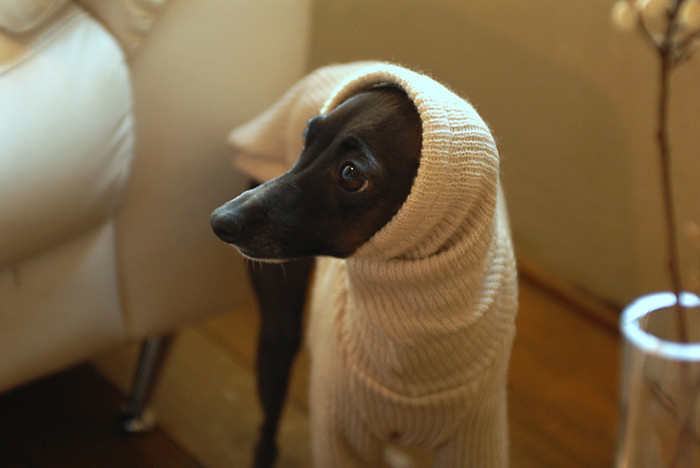 Italian Greyhound S Clothes Ig Works From Japan Http Ig