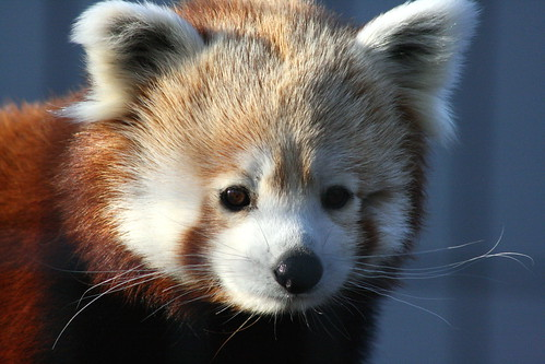 Red Panda | by yerffej9