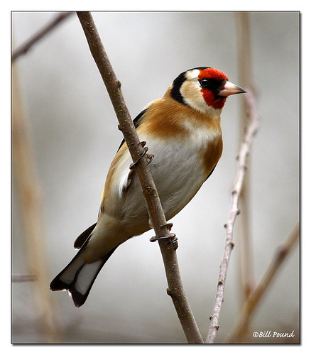 GOLDFINCH 01 | by Recycled Teenager (NORFOLK IMAGES)