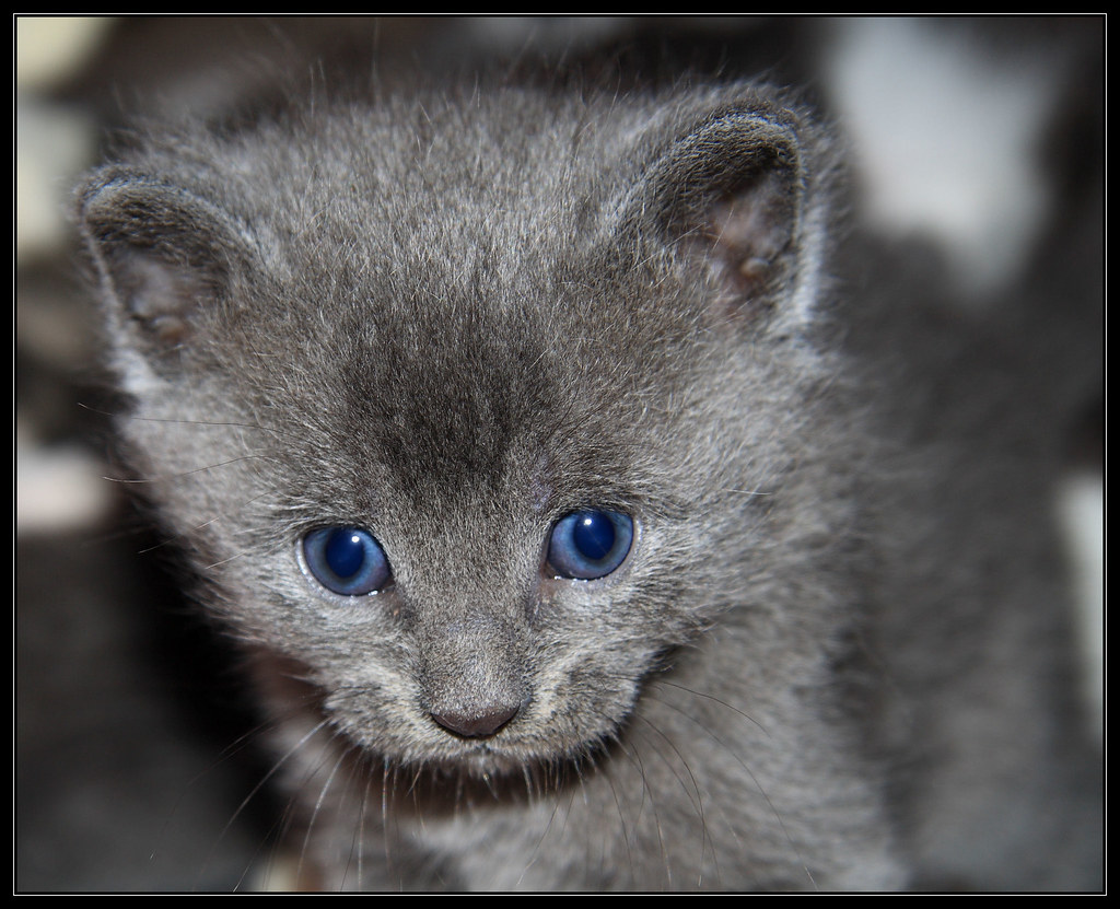 Grey Kitten 1 We said goodbye to the Mom and her litter t…